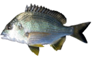 Rank: Bream